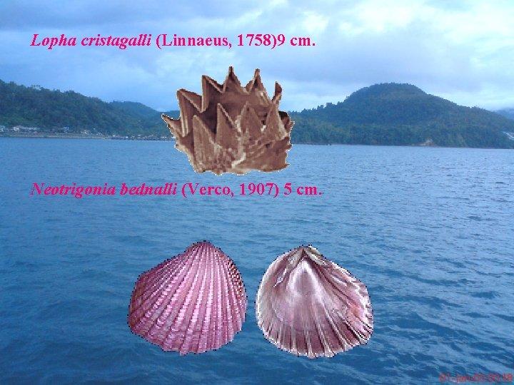 Lopha cristagalli (Linnaeus, 1758)9 cm. Neotrigonia bednalli (Verco, 1907) 5 cm.