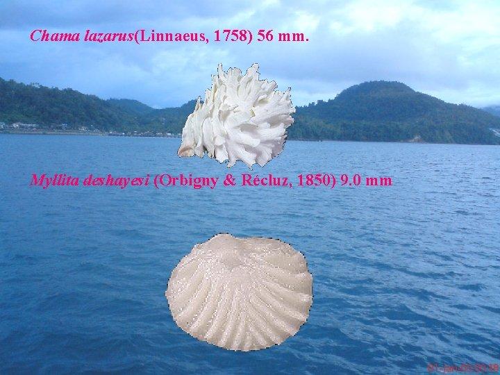 Chama lazarus(Linnaeus, 1758) 56 mm. Myllita deshayesi (Orbigny & Récluz, 1850) 9. 0 mm