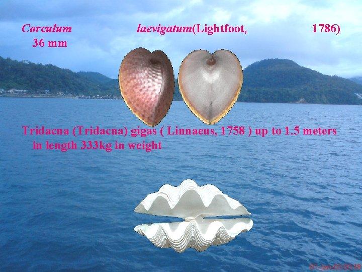 Corculum 36 mm laevigatum(Lightfoot, 1786) Tridacna (Tridacna) gigas ( Linnaeus, 1758 ) up to