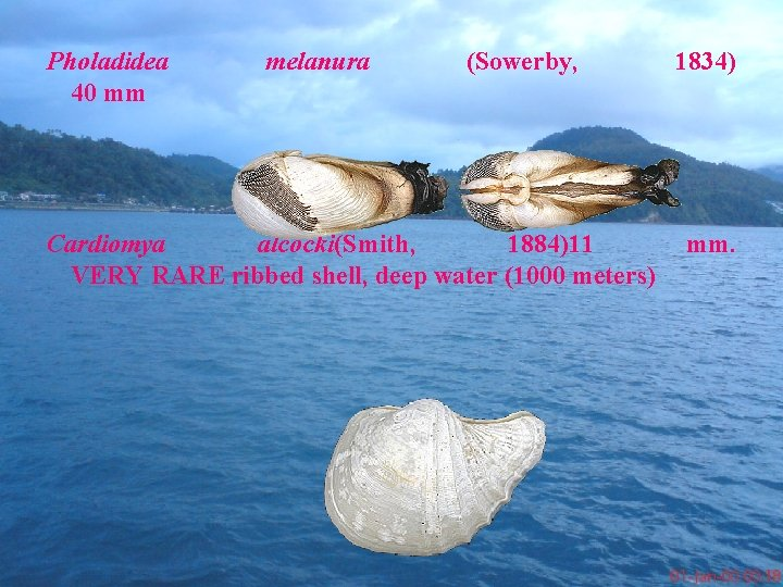 Pholadidea 40 mm melanura (Sowerby, Cardiomya alcocki(Smith, 1884)11 VERY RARE ribbed shell, deep water