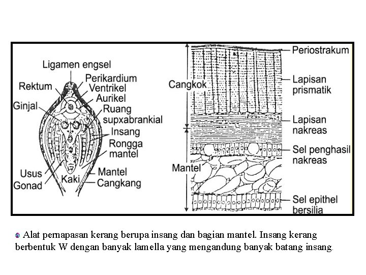 Alat pernapasan kerang berupa insang dan bagian mantel. Insang kerang berbentuk W dengan banyak