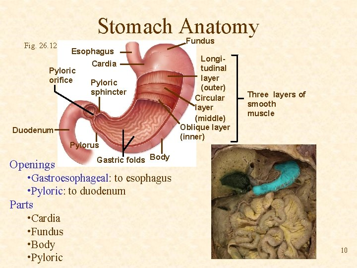 Stomach Anatomy Fig. 26. 12 Fundus Esophagus Pyloric orifice Cardia Pyloric sphincter Duodenum Pylorus