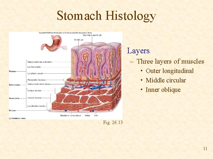 Stomach Histology • Layers – Three layers of muscles • Outer longitudinal • Middle