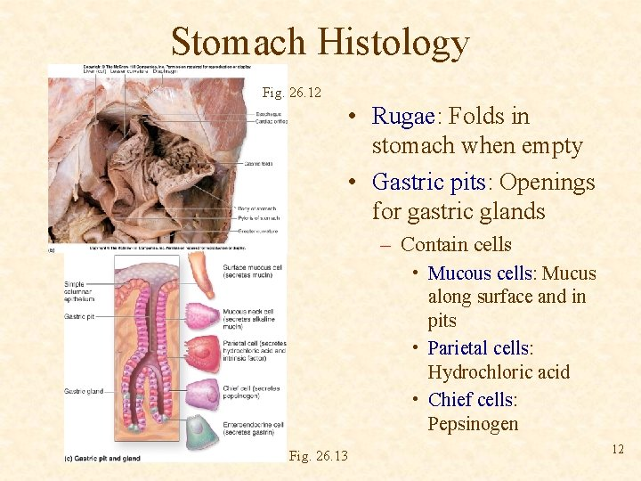 Stomach Histology Fig. 26. 12 • Rugae: Folds in stomach when empty • Gastric