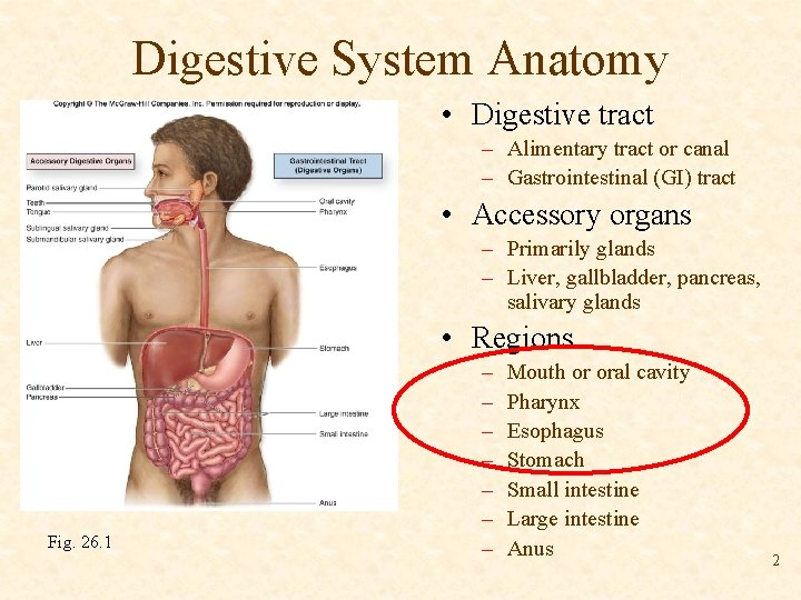 Digestive System Anatomy • Digestive tract – Alimentary tract or canal – Gastrointestinal (GI)