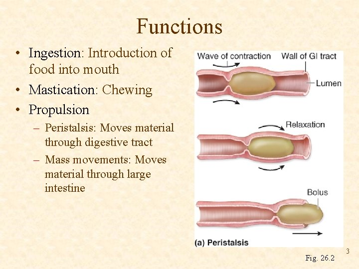 Functions • Ingestion: Introduction of food into mouth • Mastication: Chewing • Propulsion –
