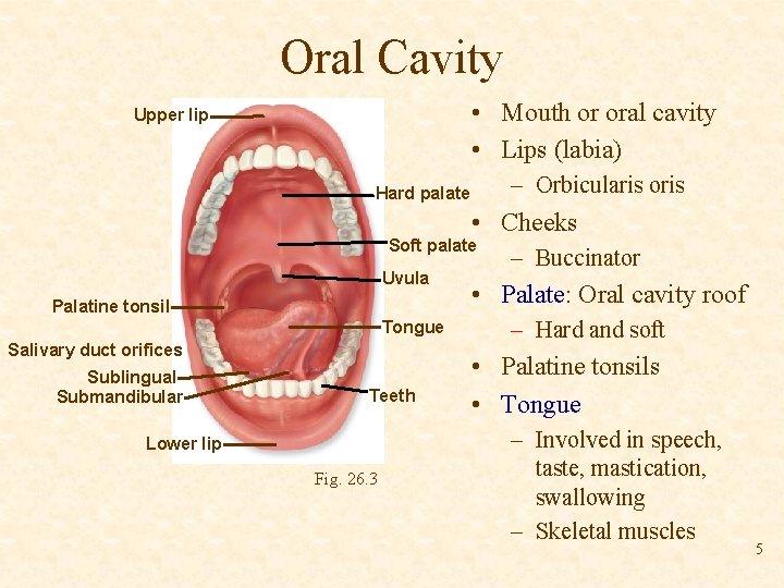 Oral Cavity • Mouth or oral cavity • Lips (labia) Upper lip – Orbicularis