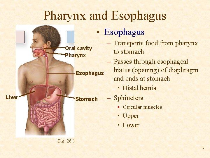 Pharynx and Esophagus • Esophagus Oral cavity Pharynx Esophagus – Transports food from pharynx