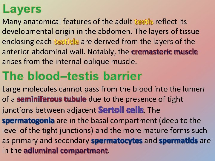 Layers Many anatomical features of the adult testis reflect its testis developmental origin in