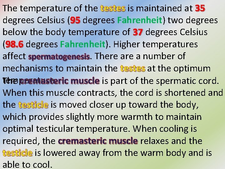 The temperature of the testes is maintained at 35 testes 35 degrees Celsius (95