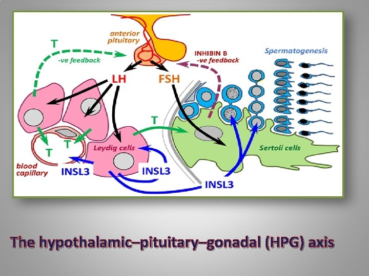The hypothalamic–pituitary–gonadal (HPG) axis
