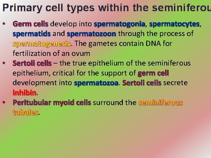 Primary cell types within the seminiferou • Germ cells develop into spermatogonia, Germ cells
