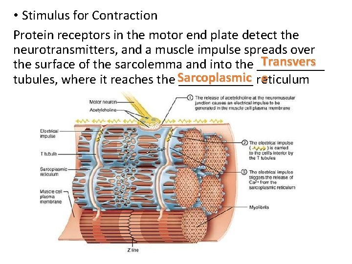 • Stimulus for Contraction Protein receptors in the motor end plate detect the