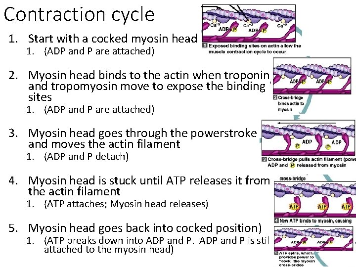 Contraction cycle 1. Start with a cocked myosin head 1. (ADP and P are