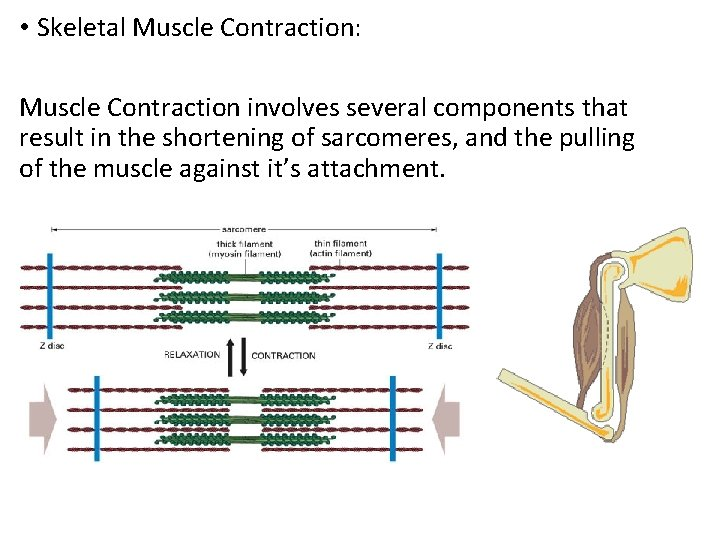 • Skeletal Muscle Contraction: Muscle Contraction involves several components that result in the