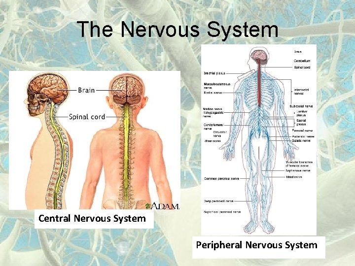 The Nervous System Central Nervous System Peripheral Nervous System