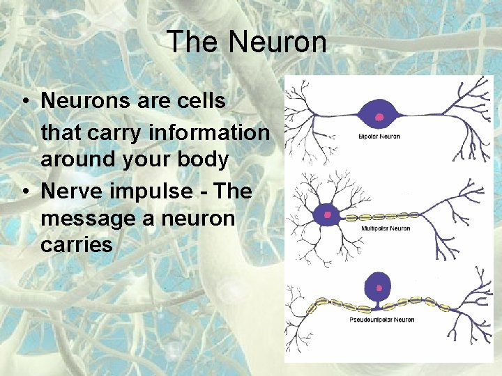 The Neuron • Neurons are cells that carry information around your body • Nerve