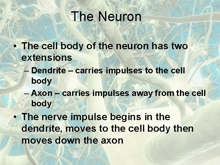 The Neuron • The cell body of the neuron has two extensions – Dendrite
