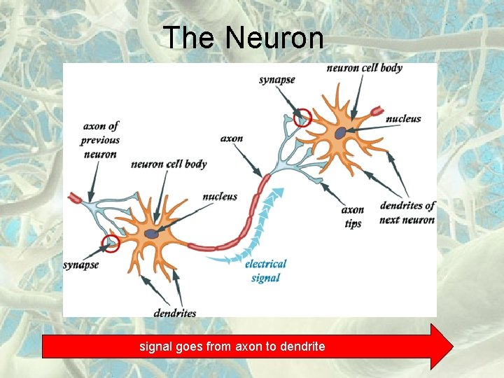 The Neuron signal goes from axon to dendrite