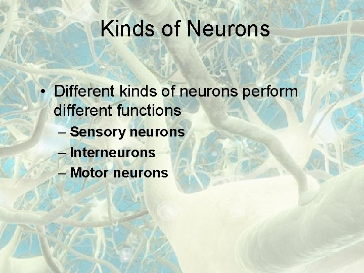 Kinds of Neurons • Different kinds of neurons perform different functions – Sensory neurons