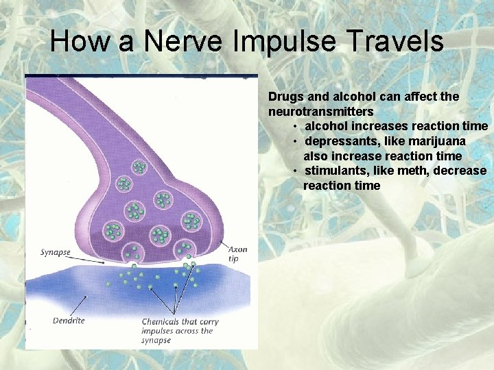 How a Nerve Impulse Travels Drugs and alcohol can affect the neurotransmitters • alcohol
