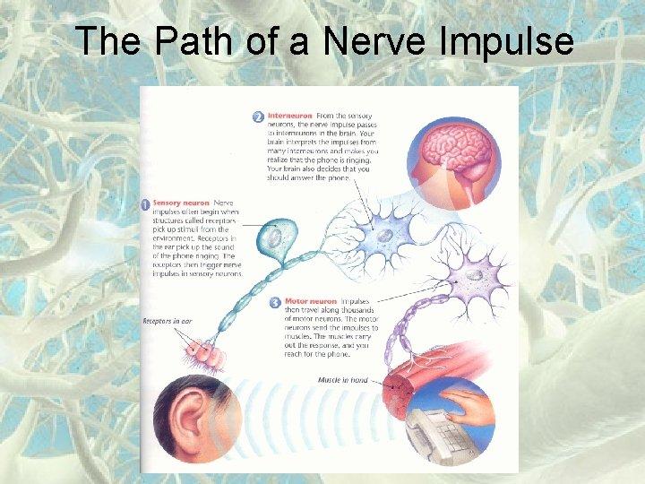 The Path of a Nerve Impulse