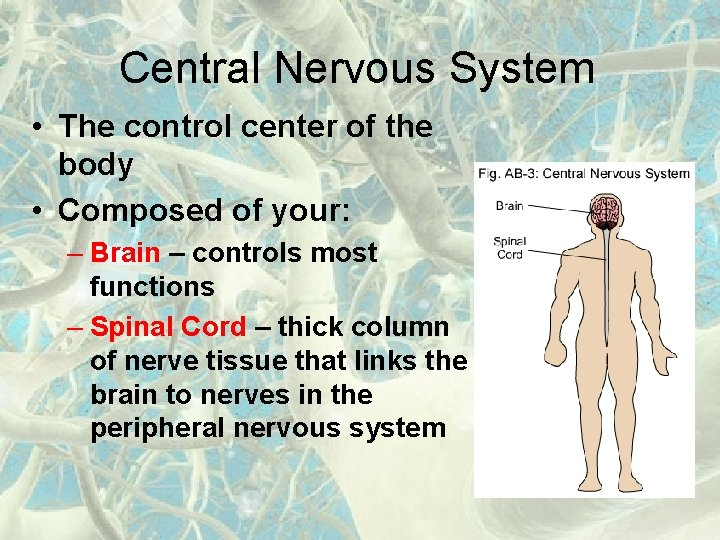 Central Nervous System • The control center of the body • Composed of your: