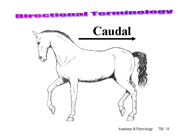 Caudal Anatomy & Physiology TM 10