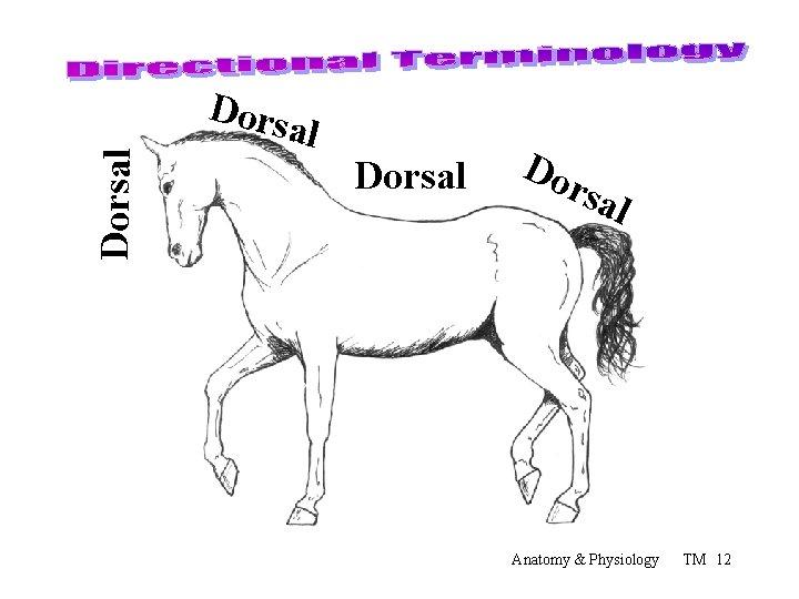 Dorsal Dorsal Do rsa l Anatomy & Physiology TM 12