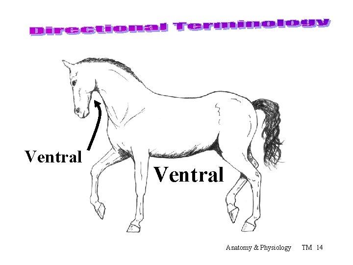 Ventral Anatomy & Physiology TM 14