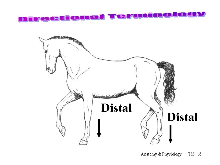Distal Anatomy & Physiology TM 18