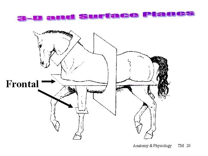 Frontal Anatomy & Physiology TM 20