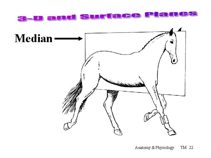 Median Anatomy & Physiology TM 22