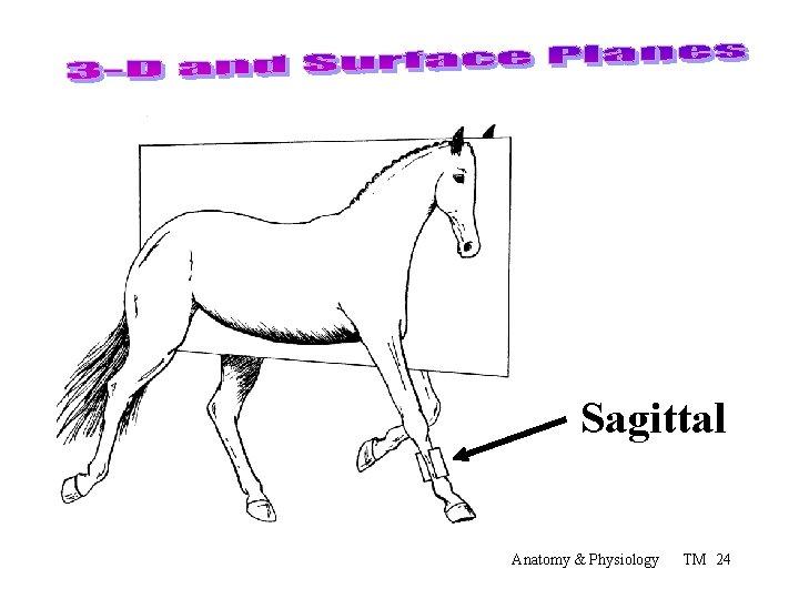 Sagittal Anatomy & Physiology TM 24