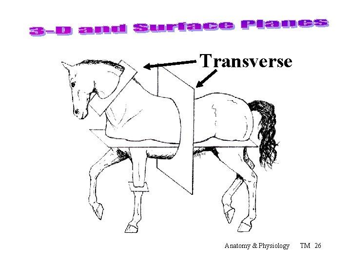 Transverse Anatomy & Physiology TM 26