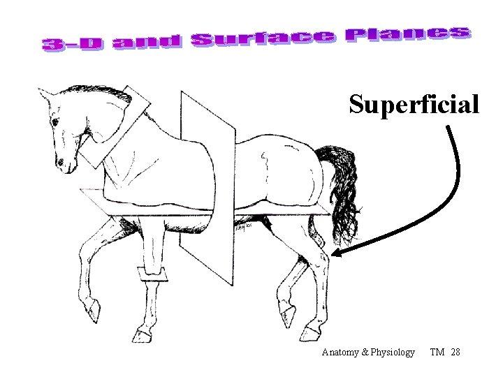 Superficial Anatomy & Physiology TM 28
