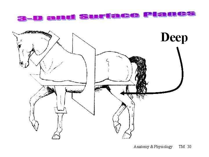 Deep Anatomy & Physiology TM 30