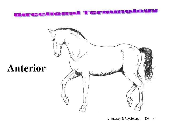 Anterior Anatomy & Physiology TM 4