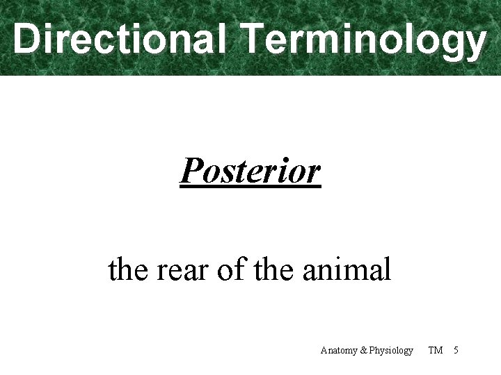 Directional Terminology Posterior the rear of the animal Anatomy & Physiology TM 5