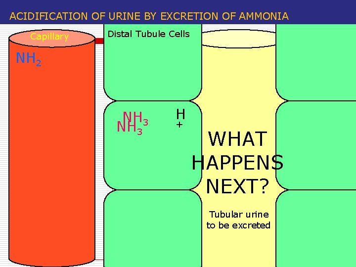 ACIDIFICATION OF URINE BY EXCRETION OF AMMONIA Capillary Distal Tubule Cells NH 2 NH