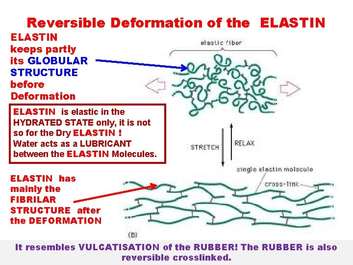 Reversible Deformation of the ELASTIN keeps partly its GLOBULAR STRUCTURE before Deformation ELASTIN is