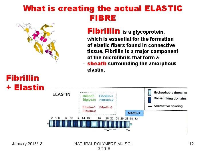 What is creating the actual ELASTIC FIBRE Fibrillin is a glycoprotein, Fibrillin + Elastin