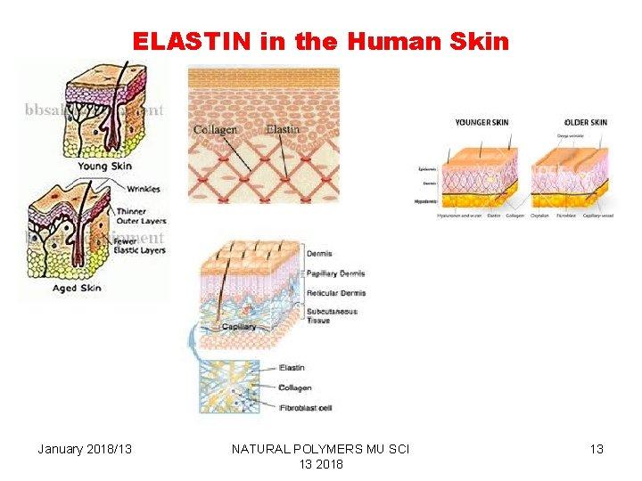 ELASTIN in the Human Skin January 2018/13 NATURAL POLYMERS MU SCI 13 2018 13