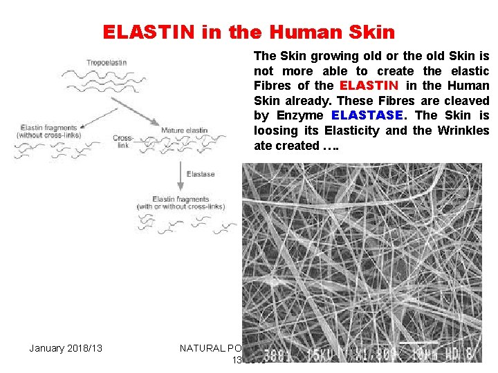 ELASTIN in the Human Skin The Skin growing old or the old Skin is