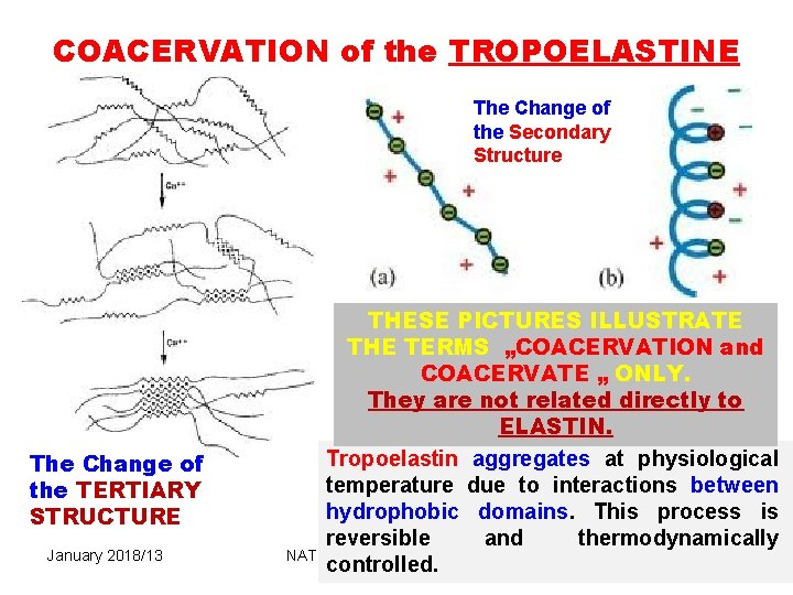 COACERVATION of the TROPOELASTINE The Change of the Secondary Structure The Change of the