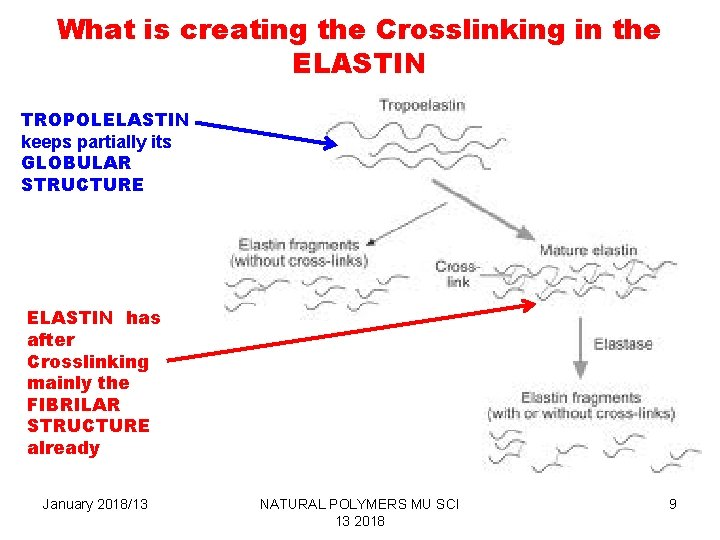 What is creating the Crosslinking in the ELASTIN TROPOLELASTIN keeps partially its GLOBULAR STRUCTURE