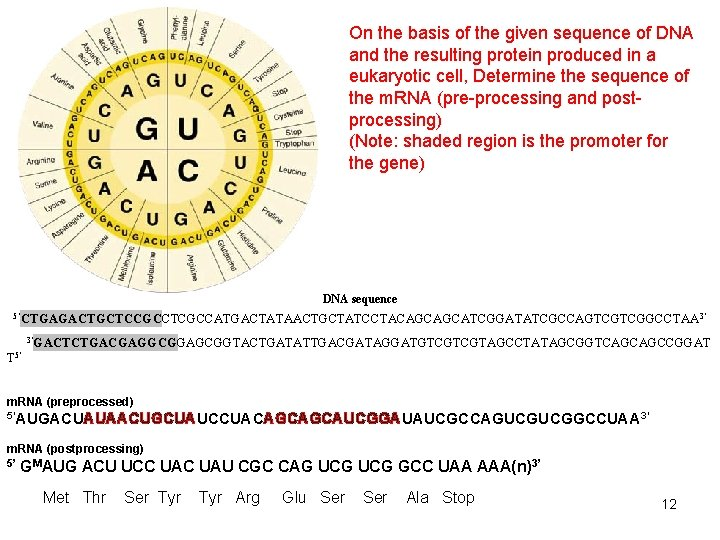 On the basis of the given sequence of DNA and the resulting protein produced