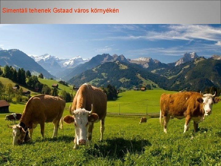 Simentáli tehenek Gstaad város környékén