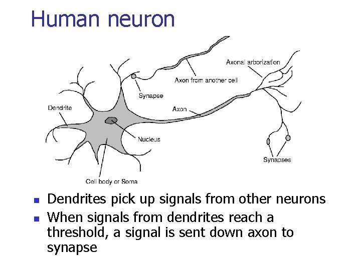 Human neuron n n Dendrites pick up signals from other neurons When signals from