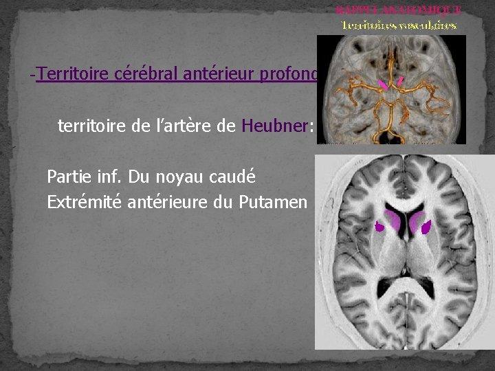 RAPPEL ANATOMIQUE Territoires vasculaires -Territoire cérébral antérieur profond territoire de l'artère de Heubner: Partie